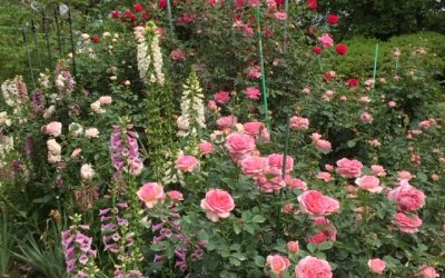 Rose Care – August 2020