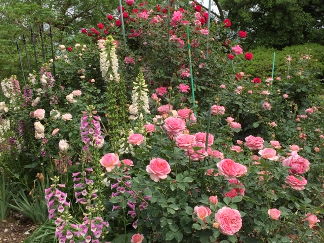 Rose Care – August 2020