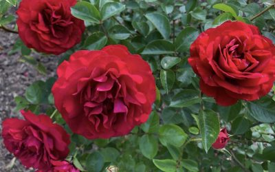 September Rose Care