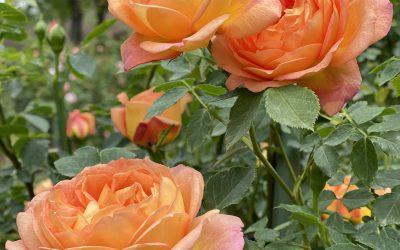 Choosing Your Rose