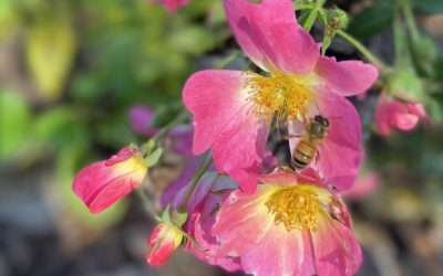 Growing Roses Without Chemicals
