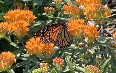Monarchs At Last!
